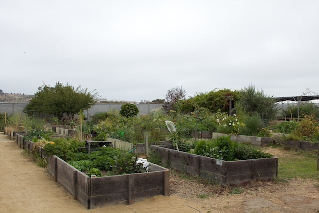 Candlestick Point State Recreation Area community garden at HQ, August 2014