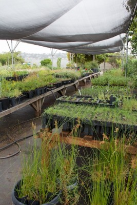 Candlestick Point State Recreation Area native plant nursery at HQ, August 2014