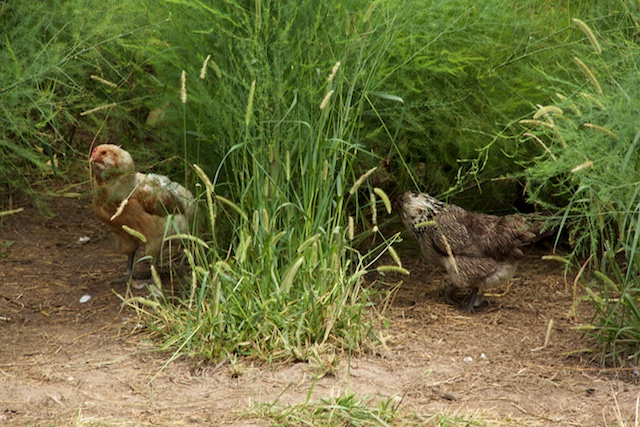 Urbavore 2 chickens in the asparagus July 2015 IMG_1564