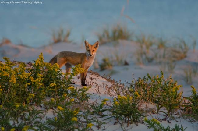 Fox at Island Beach State Park by Doug Venner