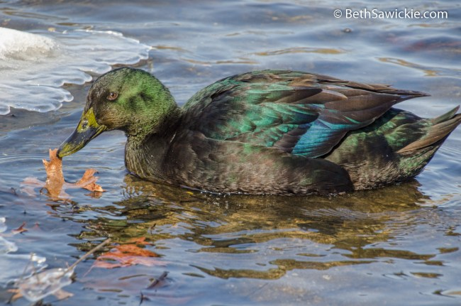 Mallard Mix Duck by Beth Sawickie
