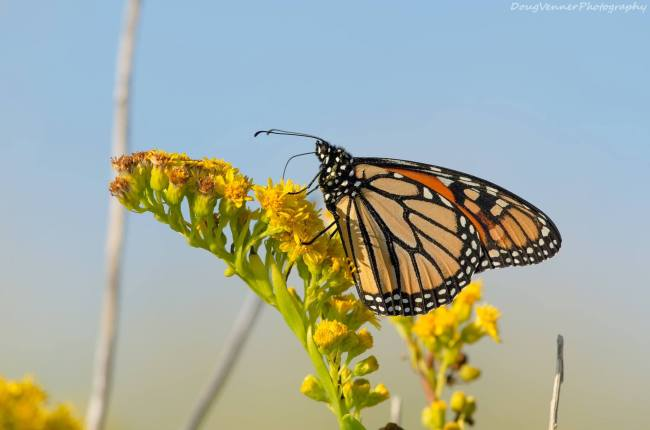 Monarch Butterfly by Doug Venner http://bethsawickie.com/seaside-golden-rod