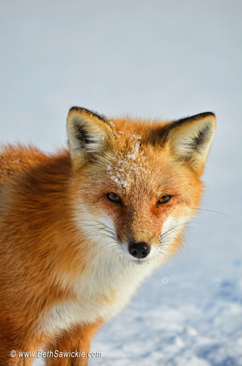 Red Fox by Beth Sawickie http://www.bethsawickie.com/red-fox-mandala