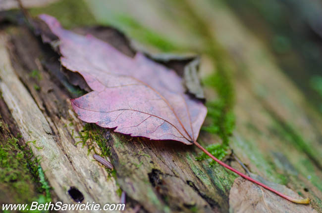 Maple Leaf at Ricketts Glen, PA by Beth Sawickie http://www.BethSawickie.com/our-ricketts-glen-adventure