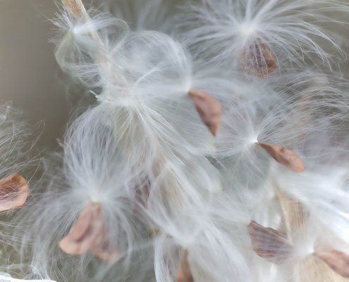 Butterfly Weed Seed Pod by Beth Sawickie http://bethsawickie.com/butterfly-weed-seed-pod