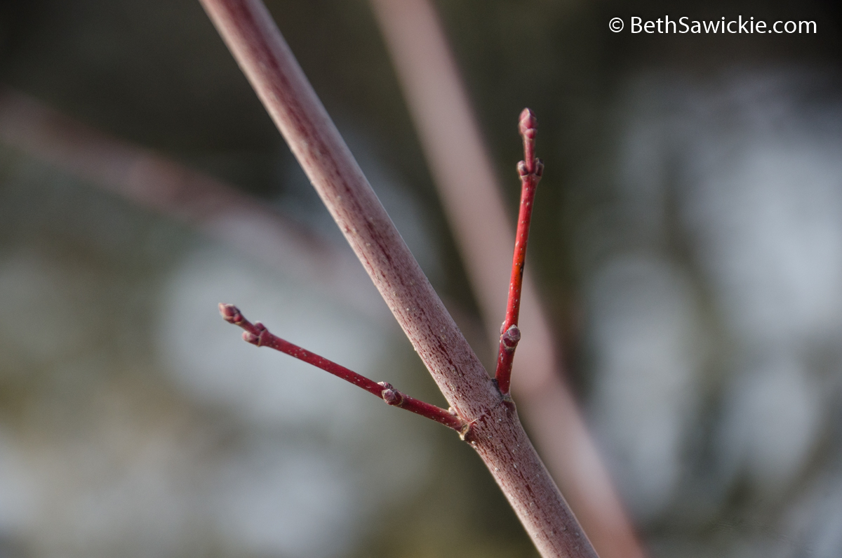 tree-buds-02-09-2015-beth-sawickie-72wm (1 of 1)