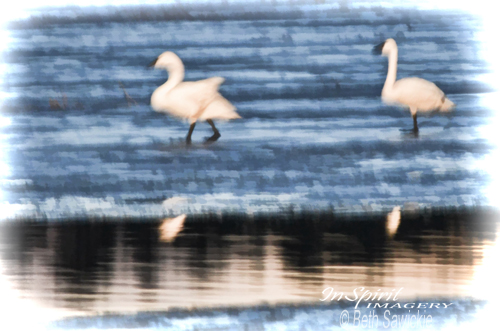 "Image by Beth Sawickie - http://www.bethsawickie.com ""Tundra Swans Walking on Ice"""