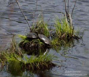 Turtles - Photo by Beth Sawickie www.BethSawickie.com