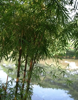 Bamboo on the river