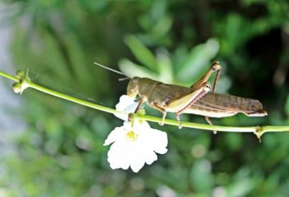 grasshoper 'eat' flower