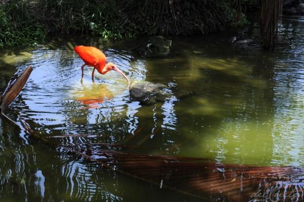 Belém 150915 119  Mangal das Garças ave laranja