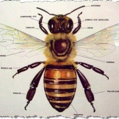 Hornet Anatomy Diagram Wiring For Solar Battery Charger Panel Series Box Life Cycle Africanized Honey Bees Picture