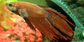 Image result for betta with bacterial