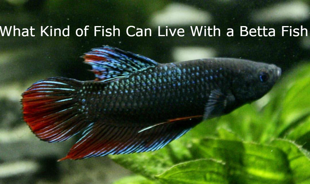 What Kind of Fish Can Live With a Betta Fish