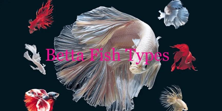 Betta Fish Types
