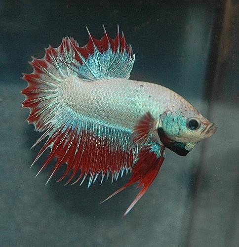 How long do betta fish live betta fish care a betta for How do you take care of a betta fish