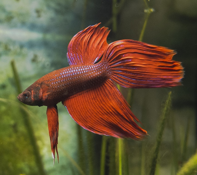 common betta fish diseases betta fish care a betta fish must read