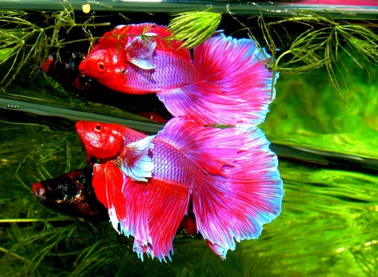 Betta Fish Food