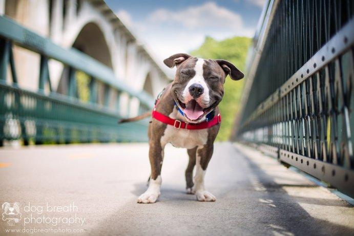 Boston Dog Photographer