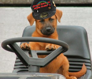 Dog driving tractor