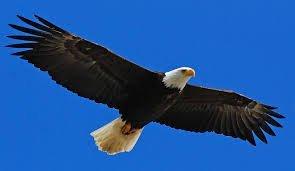 emerging eagle
