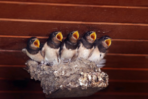 Hungry swallows in a nest