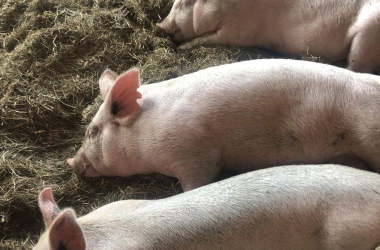 Pigs laying down together