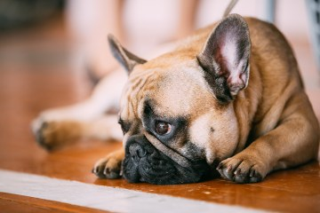 Sad Lovely Dog French Bulldog sitting on floor indoor