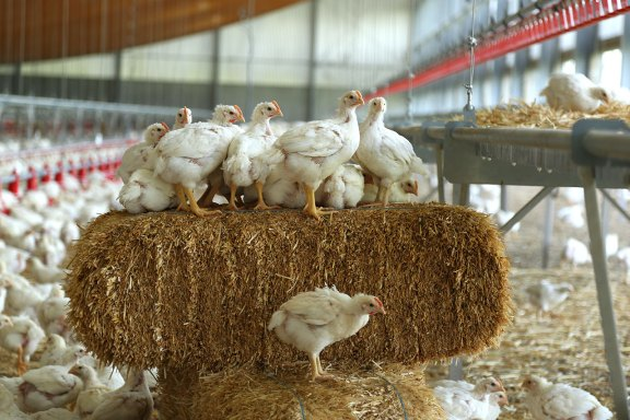 Broilers-on-straw-bale2