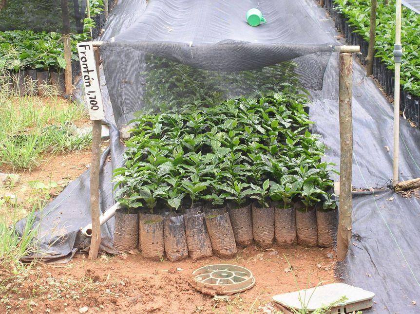 Coffee_seedlings_puerto_rico