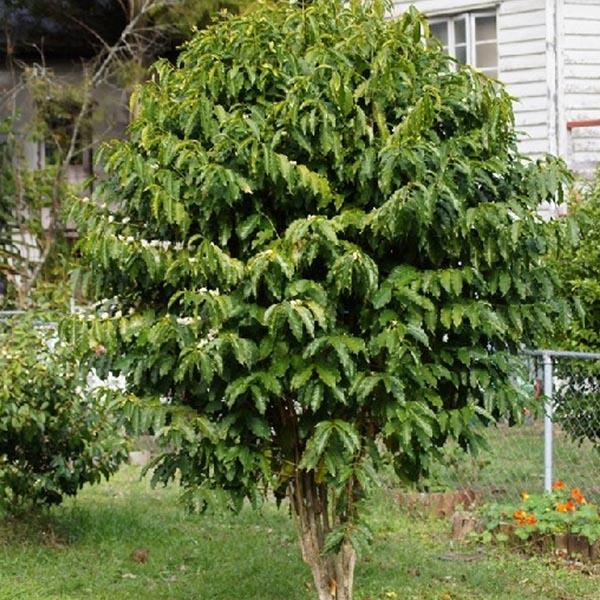 Mature coffee tree