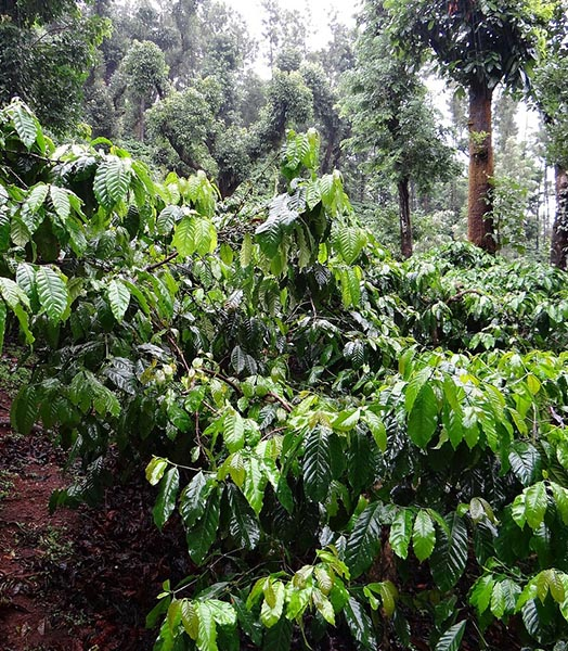 Coffee growing in a perfect environment