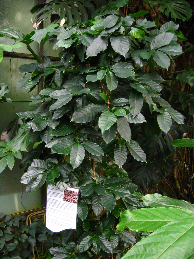 Coffee Plant being grown in a greenhouse