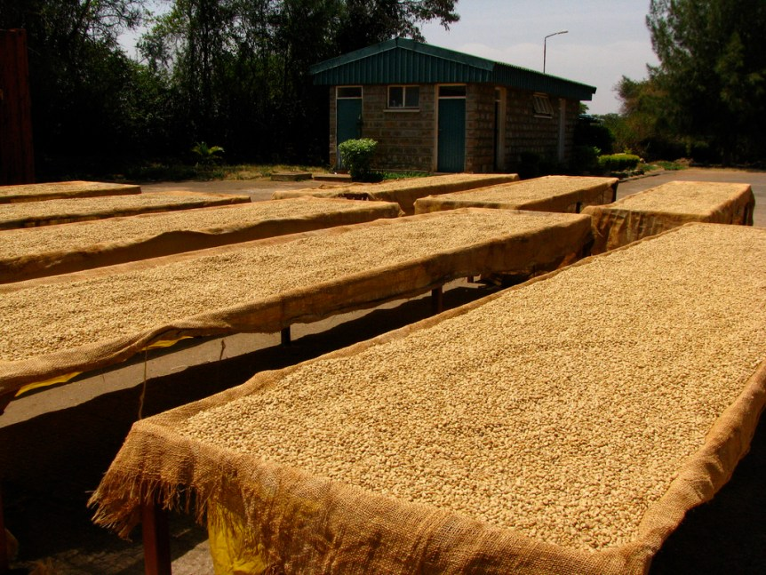 coffee drying on tables