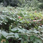 Fermenting Wild Raspberries