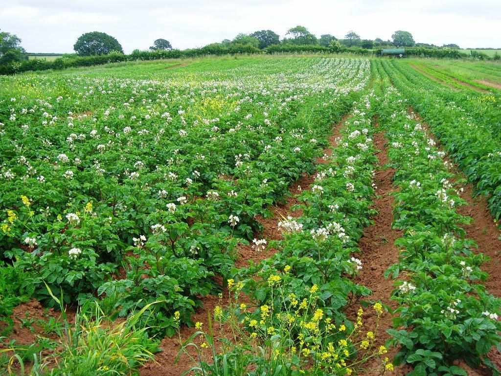 Potato crop at The Community Farm, Chew Magna