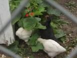 2013 july yard pen chicks 100