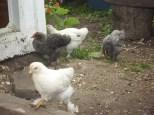 2013 july yard pen chicks 147