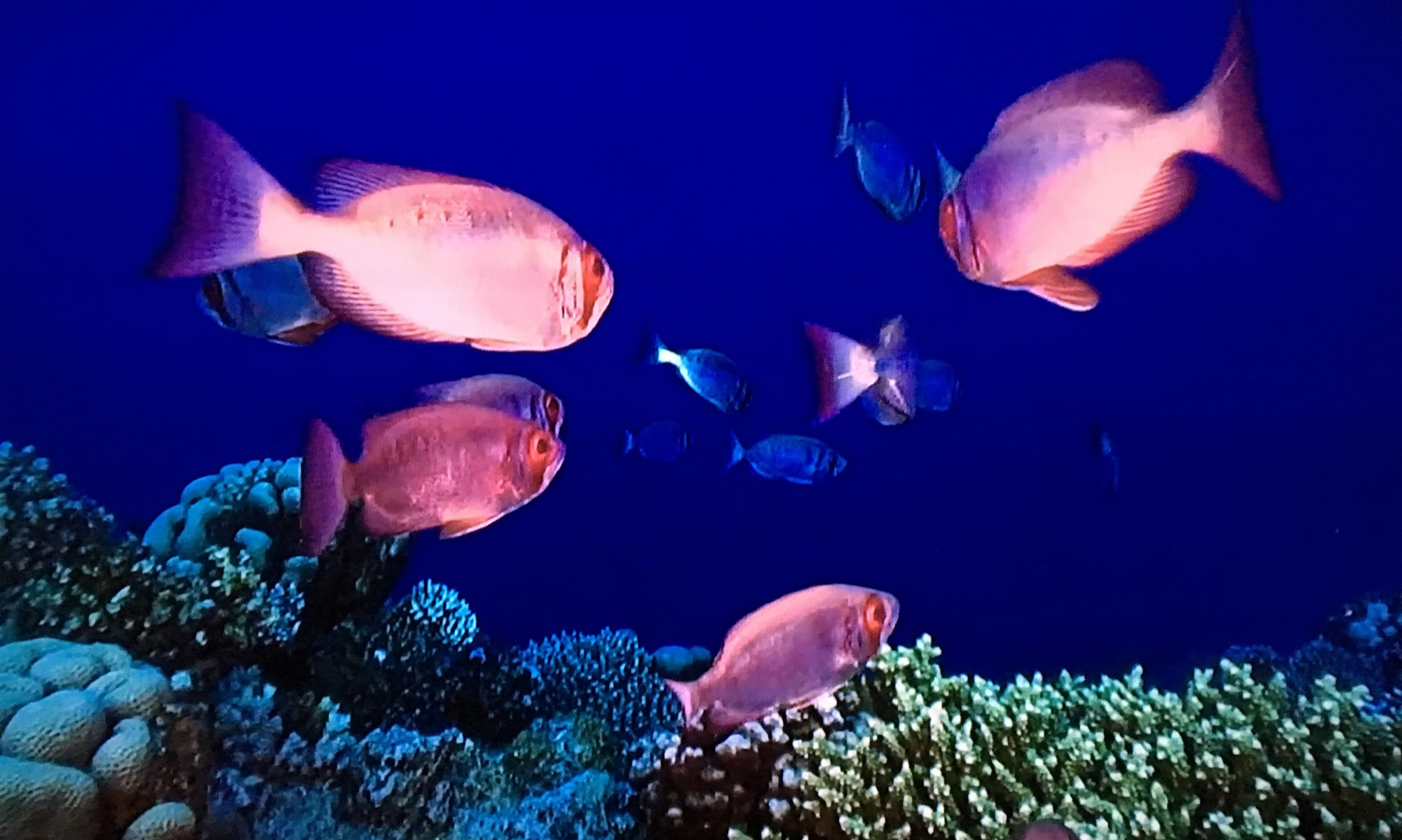 hight resolution of screen capture image of moontail bullseyes swimming in a coral reef via at t u