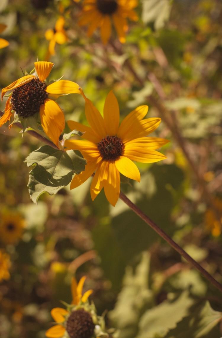 sunflower autumn