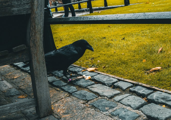 raven in Tower of London