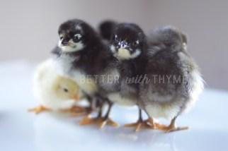 Blue, Black and Splash Isbar Chicks