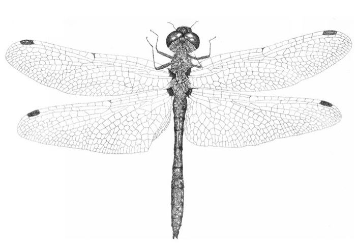 dragonfly-02