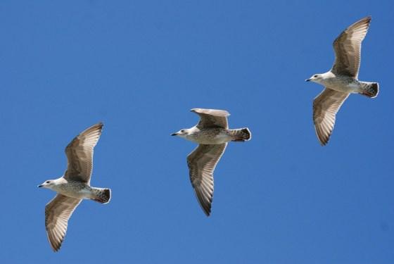 gulls-343235_1920