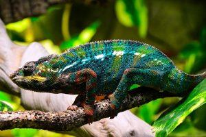 chameleon-1069670_1280