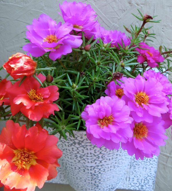 The portulaca blooms brightly and abundantly.