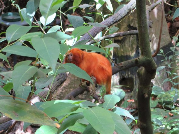 Little grumpy-looking orange monkey in the Tropical Rainforest at the Biodôme.