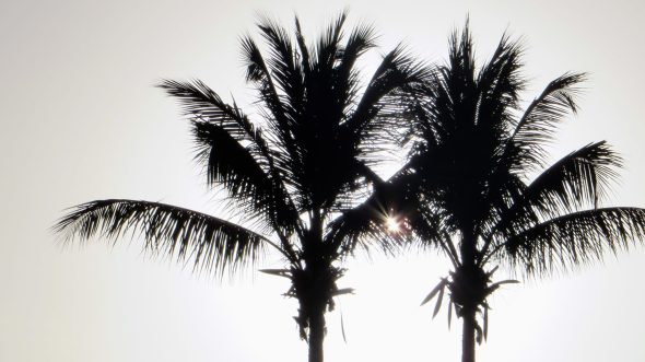 Sunrise palms.