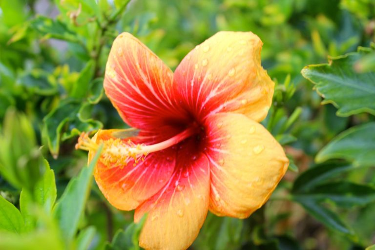Hibiscus flower, Road to Hana, Maui, Hawaii