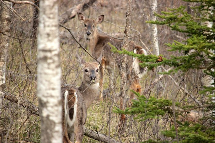 Deer party! Riding Mountain National Park